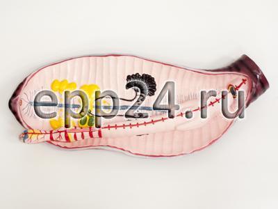 Модель Дождевой червь