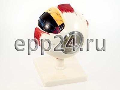 Модель Глаз (увеличенная)