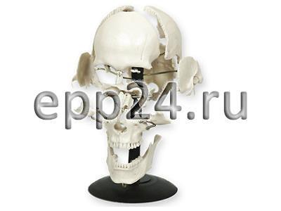 Модель Кости черепа человека смонтированные на одной подставке