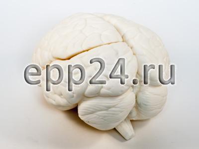 Модель Мозг человека в разрезе (белый)