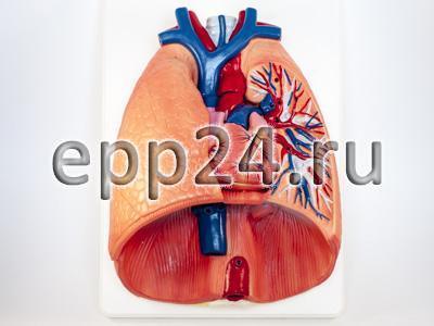 Модель Система органов дыхания