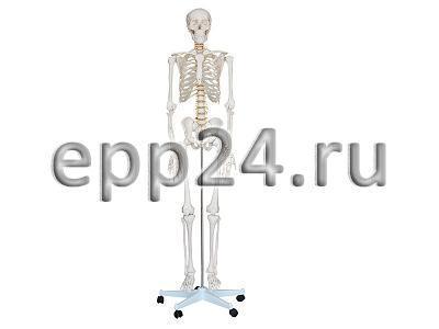 Скелет человека разборный 170 см