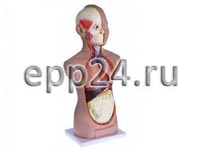Торс человека 65 см (разборная модель)