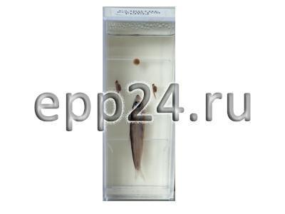 Влажный препарат Развитие костистой рыбы