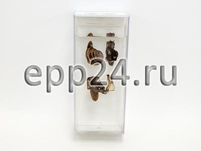 Влажный препарат Внутреннее строение брюхоногого моллюска