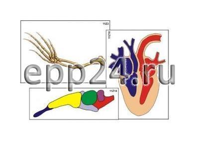 Модель-аппликация Эволюция систем органов позвоночных животных