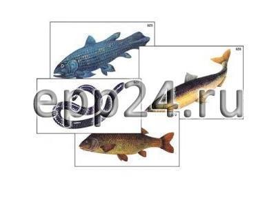 Модель-аппликация Многообразие хордовых. Рыбы, земноводные и пресмыкающиеся