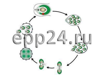 Модель-аппликация Размножение одноклеточной водоросли