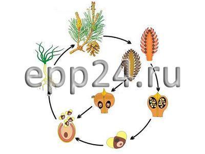 Модель-аппликация Размножение сосны