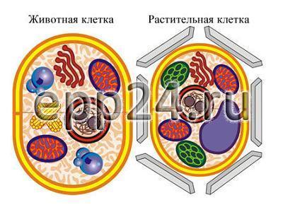 Модель-аппликация Строение клетки