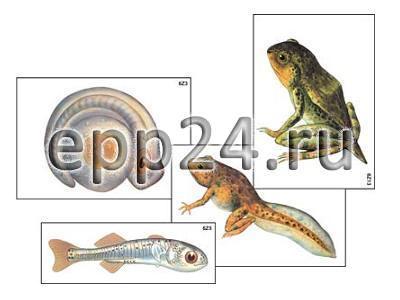 Модель-аппликация Цикл развития костной рыбы и лягушки