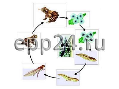 Модель-аппликация Цикл развития лягушки