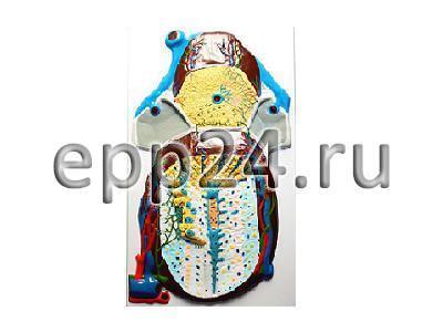Модель барельефная Долька печени (макро-микростроение)