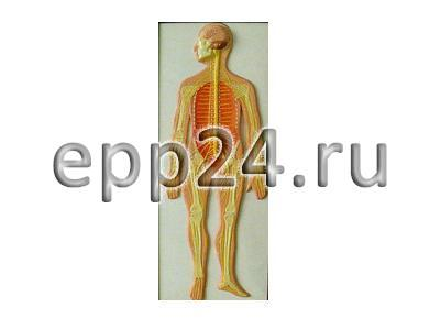 Модель барельефная Нервная система человека