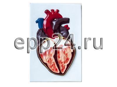 Модель барельефная Строение сердца человека