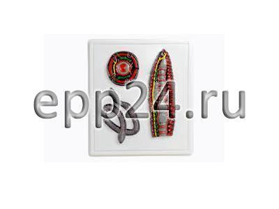 Модель барельефная Внутреннее строение дождевого червя