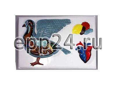 Модель барельефная Внутреннее строение голубя