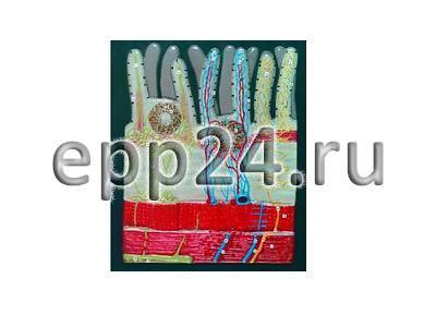 Модель барельефная Ворсинка кишечная с сосудистым руслом