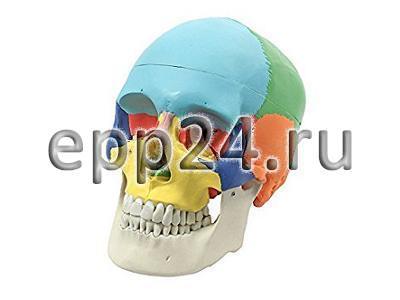Модель Череп (с раскрашенными костями)