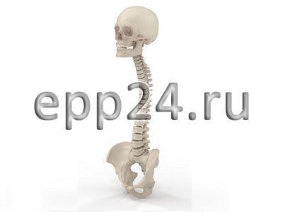Модель Позвоночник с черепом и тазом