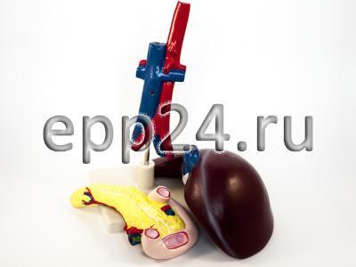 Модель Сердце (лабораторная)