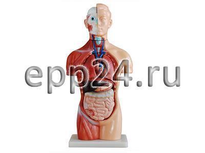 Модель Торс человека 42 см