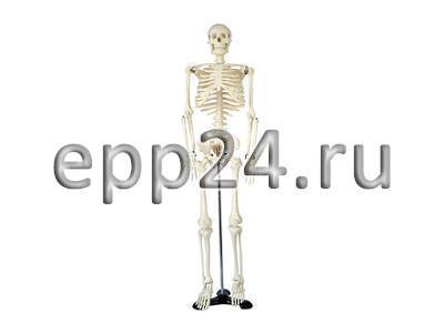 Скелет человека 85 см